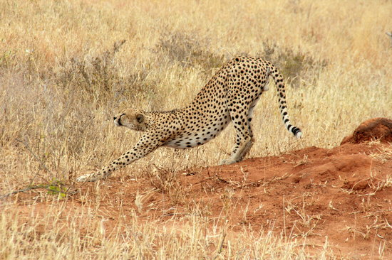 Tarangire National Park, Tansania: Time to go hunting