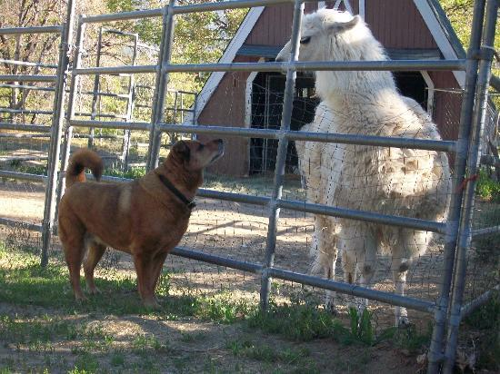 Pine Knot Guest Ranch: Bailey saying hello to the llama