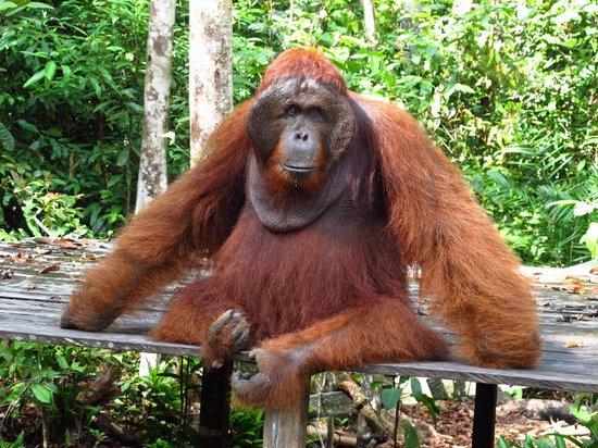 Orangutan Vs Gorilla