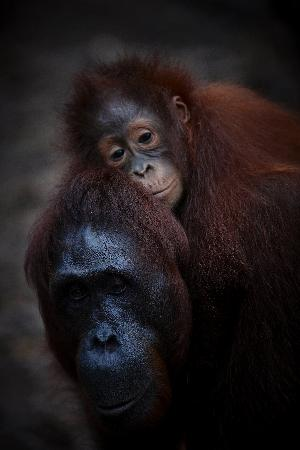Tanjung Puting National Park: Mum and Child, they need each other so much!