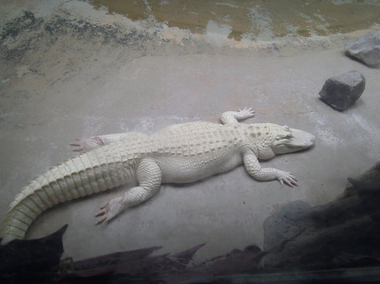 Natchitoches Alligator Park: Albino alligator kept indoors