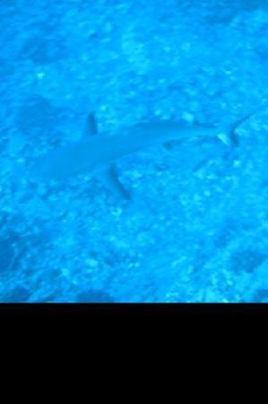 Hawaiian Rafting Adventures: white tip reef shark