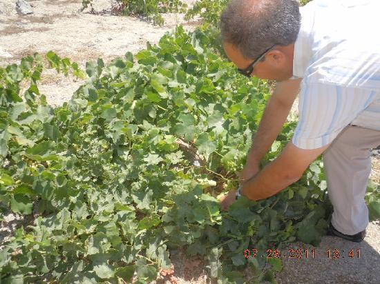 Boutari Winery: Visit to the vineyard