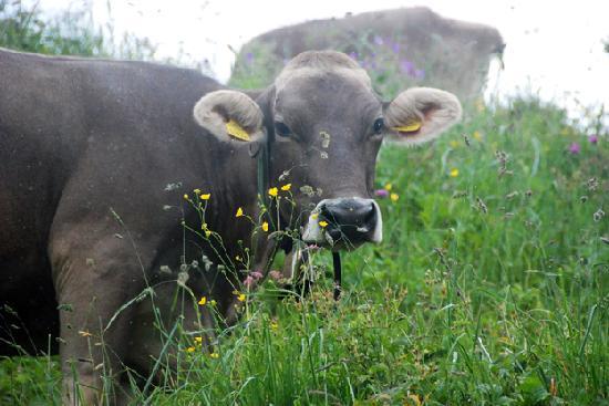 Hotel Theodul: Even cows had daisies in their ears.
