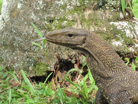 Club Med Cherating Beach: The curious local lizards were fascinating