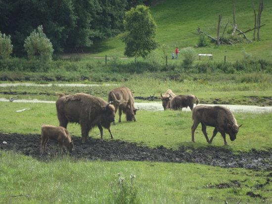 Ree Park Safari: Bizons are hungry