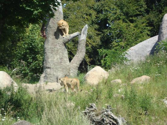 Ree Park Safari: The lions are sated