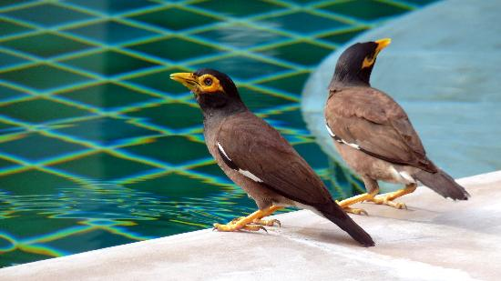 Ampha Place Hotel : These myna birds drink from the pool each morning