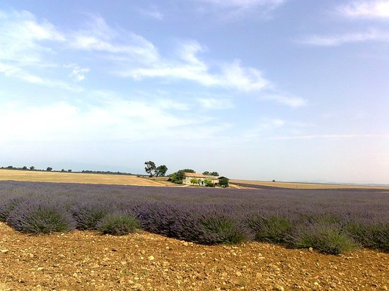 Tours in Provence - Day Tours : lavender