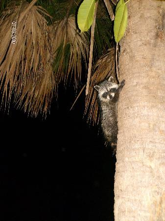 North Miami Beach, Floryda: curious baby raccoon