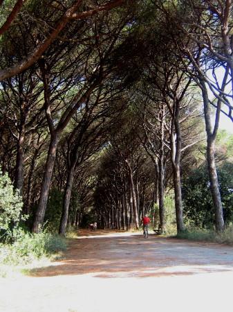 Camping Le Tamerici: Pineta