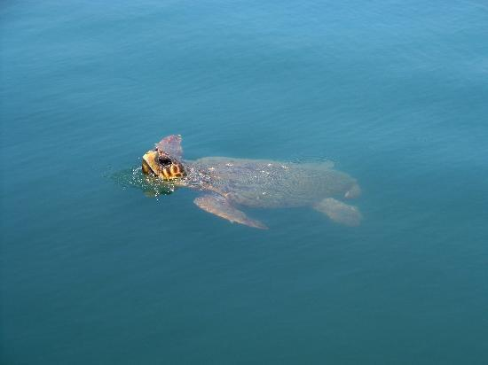 Avithos Resort : Turtle