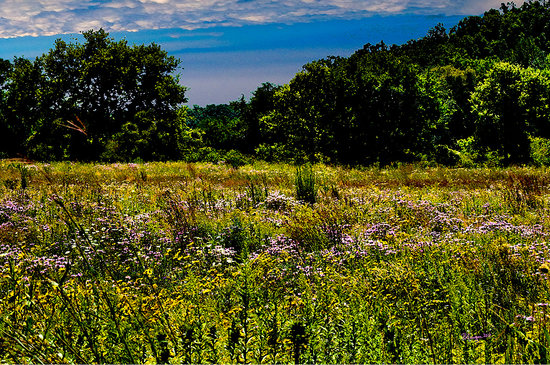 Spring Grove, IL: Wetlands in July