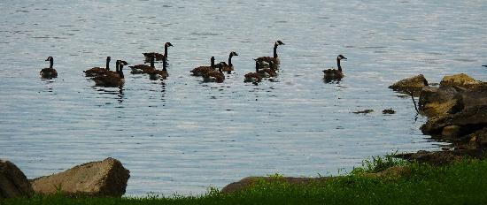 Our Stone Cottage : Geese in St. Lawrence River