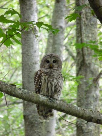 San Juan Island, WA: Barred Owl