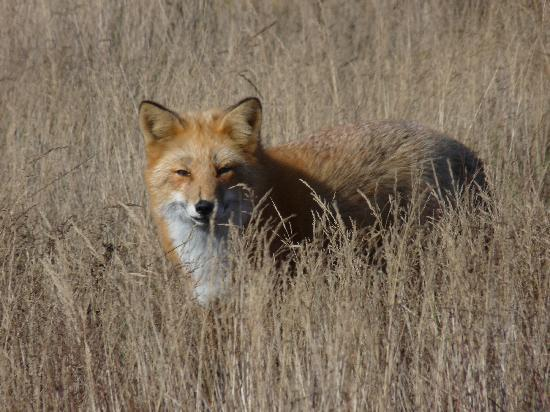 Isla de San Juan, WA: Red Fox