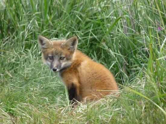 Isla de San Juan, WA: Red Fox Kit