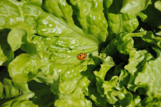 Elounda Solfez Villas: Lady Bug on a Salad!
