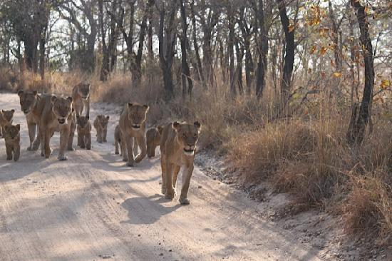 Sabi Sabi Earth Lodge : amazing encounter with a pride of lions