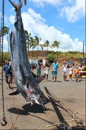980 lb marlin picture of deep sea fishing kauai kapaa for Fishing in kauai