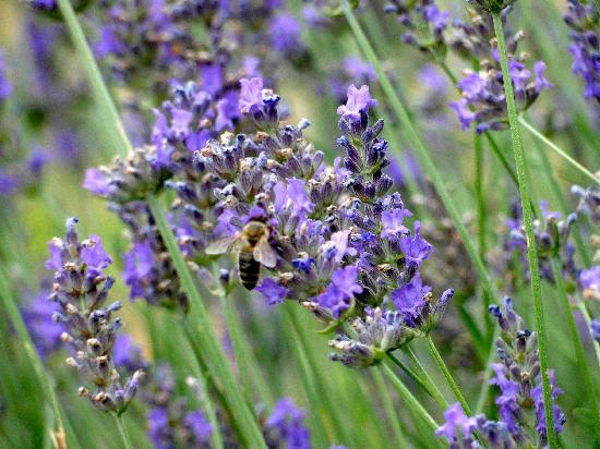 Le Mas des Vertes Rives: honey with lavender flavor