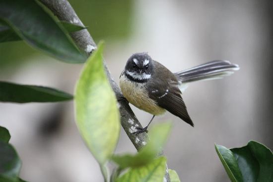 Tikapa Moana Eco Spa Retreat : a Fantail who loved the sound of my camera shutter!
