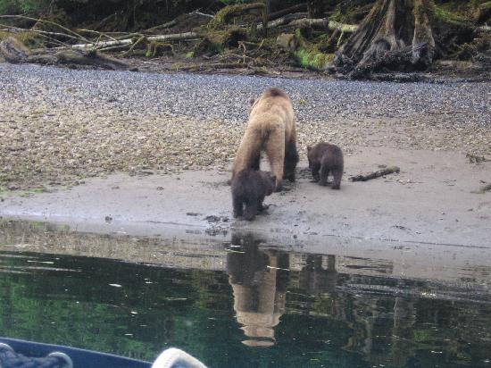 Khutzeymateen Grizzly Bear Sanctuary: mama and cubs of the year