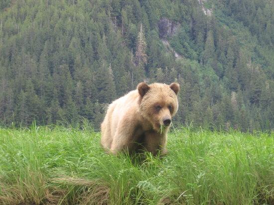 Khutzeymateen Grizzly Bear Sanctuary: a beauty eating the sedge