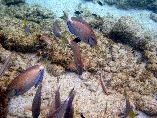 East End, Saint Thomas: Sapphire Beach - Ocean Surgeonfish and others