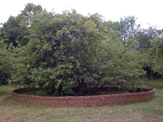Grantham, UK: The most famous apple tree in the world?