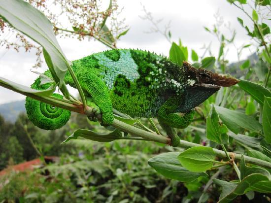 Região de Tanga, Tanzânia: Male chameleon- charismatic!