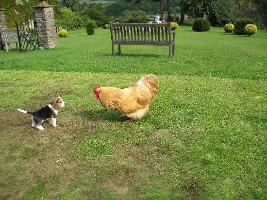 Castle Farm B&B: dog v. rooster