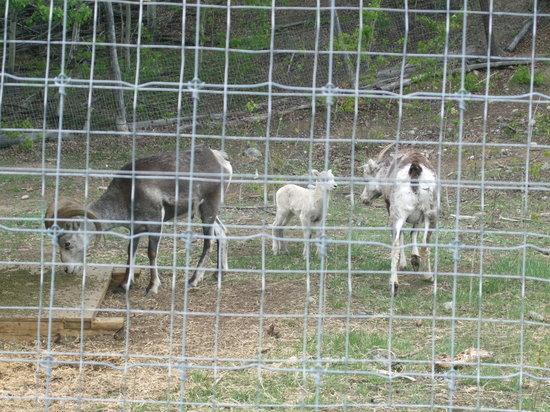 Yukon Wildlife Preserve : Baby Stone Sheep
