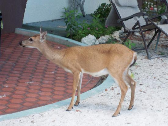 The Key Deer - Picture of Barnacle Bed and Breakfast, Big ...