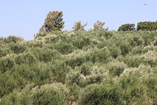 Alea Hotel: Olive trees