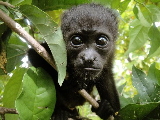 "Nosara, Kostaryka: Baby ""SIBU"" was the first Howler Monkey born at SIBU Sanctuary!"