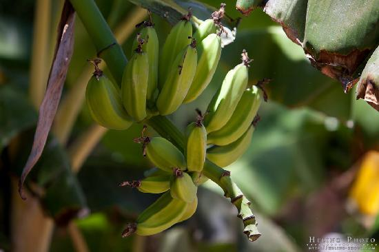 Bungalows Cordial Sandy Golf: Banana-tree at the resort, you can taste, but it taste like potatoe =)