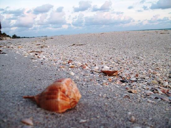 Gulf Shore Beach Resort Motel: The best shells (beats Sanibel hands down)