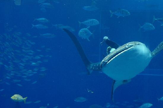 ジンベイザメ - Picture of Okinawa Churaumi Aquarium, Motobu-cho - TripAdvisor