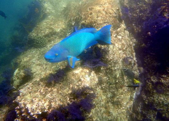 Los Cabos Deep Blue: Nice parrot fish!