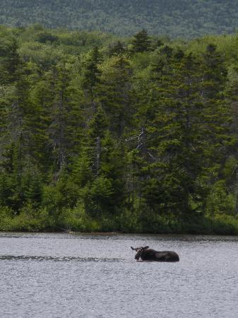 Katahdin Cabins: Moose in Sandy Stream Pond, Baxter State Park