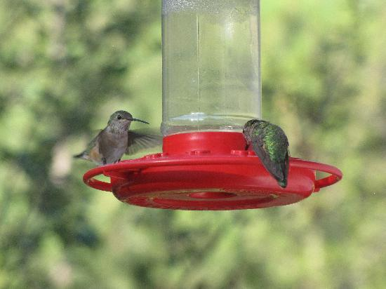 Whispering Pines Cottages On The River: hummingbirds galore!
