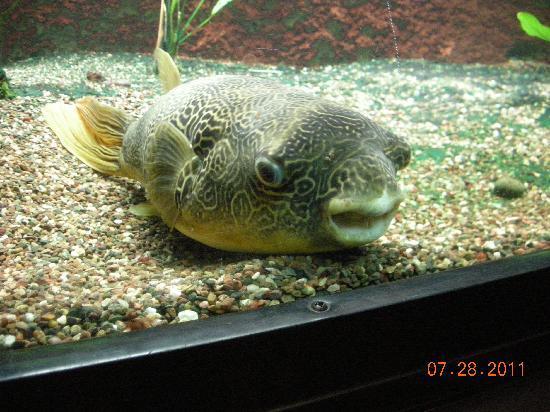 Shedd Aquarium: Congo River Puffer