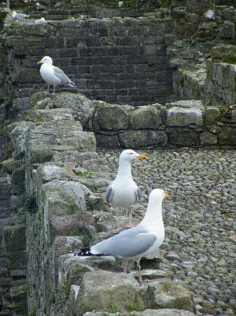 Beaumaris, UK: Gulls chilling.