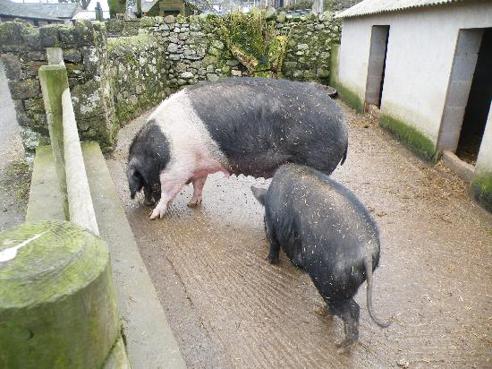 Foel Farm Park: Pigs.