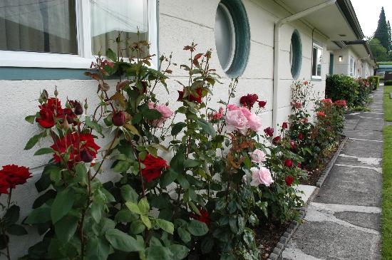 Milwaukie Inn Portland South: roses everywhere around the cabins