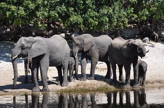 Chobe Game Lodge: Elepahants are plentiful