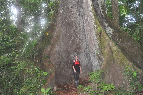 Loreto Region, Peru: ärboles milenarios de  mas de  40 mts de altura en medio de la espesa selva peruana, esta especi