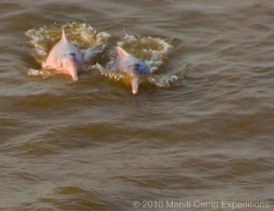 Регион Лорето, Перу: La presencia permanente de los delfines rosados en en el rio amazonas , fue para mi , lo maximo
