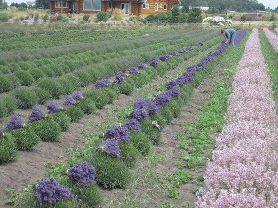 Lavender Wind Farm: Harvest in Process